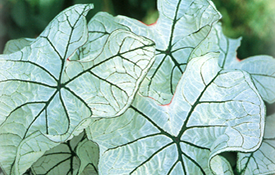 Candidum Jr. Caladium Bulbs